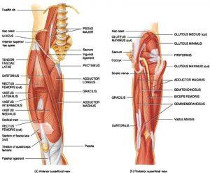 hip muscles physiyoga